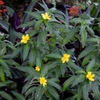 turnera diffusa fls YG