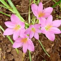 zephyranthes fosteri pink 1 YG